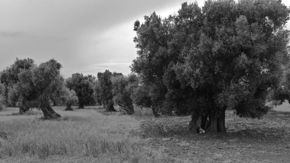 8 olive trees