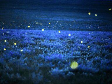 fireflies-alfalfa-richardson_20253_600x450