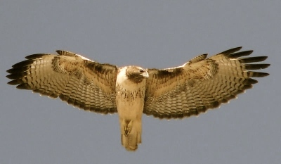 Red-Tailed Hawk in Flight-L 4