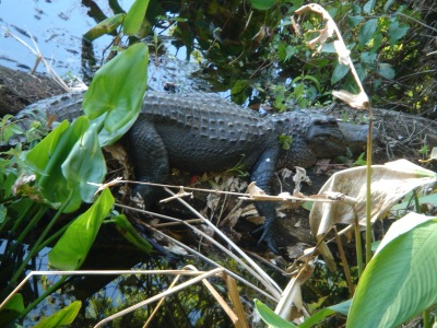 alligator snoozing